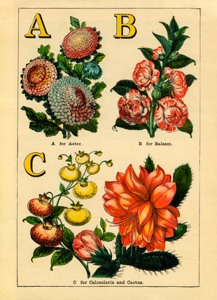 A for Aster, B for Balsam, C for Calceolaria and Cactus