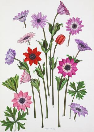 Anemone pavonina, Anemone stellata, Anemone hortensis
