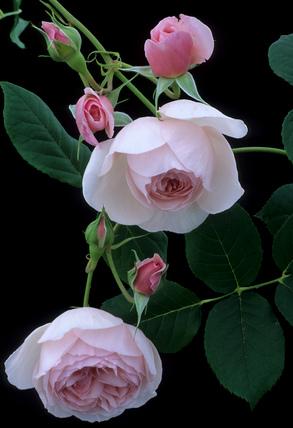 Rosa HERITAGE 'Ausblush'