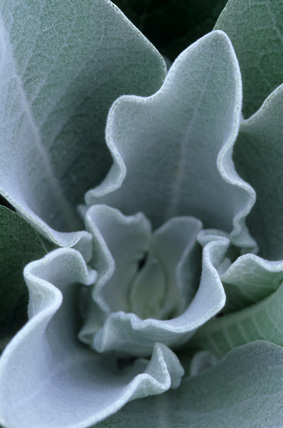 Verbascum bombyciferum 'Polarsommer'