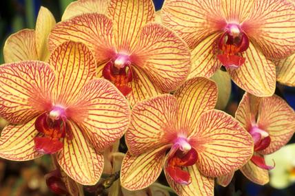 Phalaenopsis Baldan's Kaleidoscope grex.
