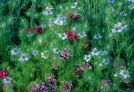 Dianthus barbatus and Nigella