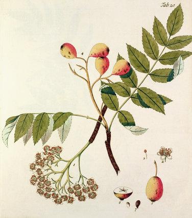 Die Spierlingbaum