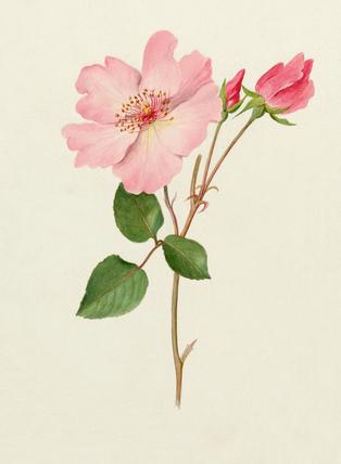 Rosa 'Dainty Bess'
