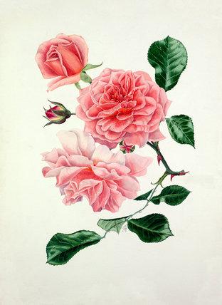 Rosa 'Dream Girl'