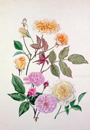 Rosa 'Alister Stella Gray', Rosa 'Blush Noisette', Rosa 'Celine Forestier'