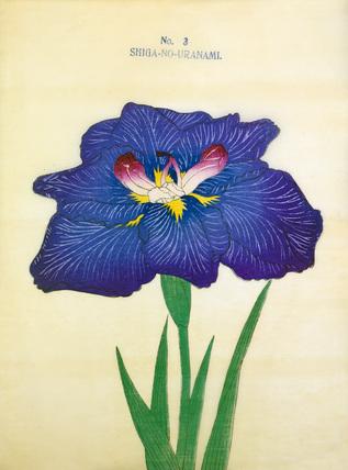 Iris Shiga-No-Uranami