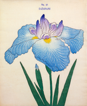 Iris Sazanami