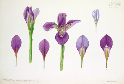 Iris cross-section