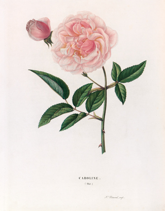 Rose 'Caroline'