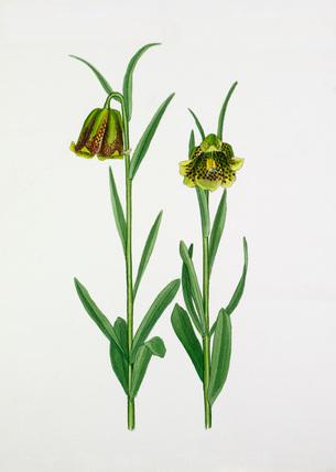 Fritillaria pyrenaica, pale forms.