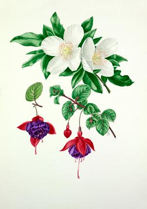 Eucryphia × nymansensis, Fuchsia 'Mount Stewart'