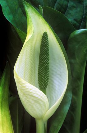 Lysichiton americanus × camtschatcensis