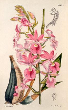 Calanthe × veitchii