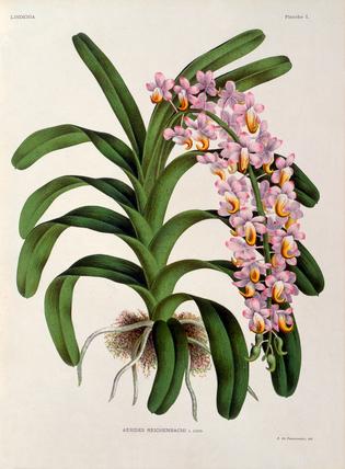 Aerides reichenbachia