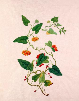Rosa × odorata
