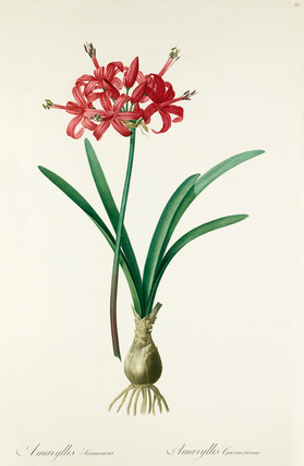 Amaryllis sarniensis
