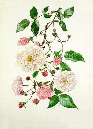 Rosa Adélaide d'Orléans, Rosa Félicité Perpétue, Rosa Spectabilis