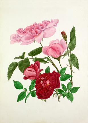 Rosa 'Madame de Sancy de Parabere', Rosa 'Amadis'