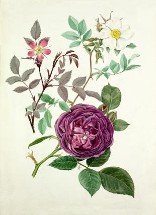 Rosa glauca, Rosa fedtschenkoana, Rosa 'Reine des violettes'