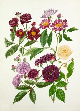 Rosa 'Violette', Rosa 'Veilchenblau', Rosa 'Rose-Marie Viaud', Rosa 'Bleu Magenta', Rosa 'Goldfinch'