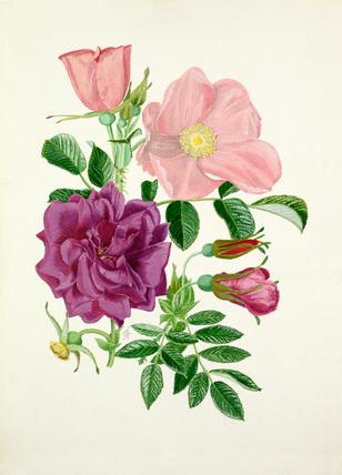 Rosa 'Fru Dagmar Hastrup', Rosa 'Roseraie de l'Hay'