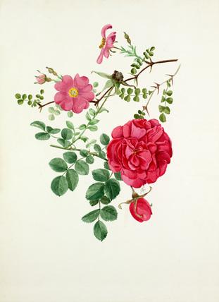 Rosa multibracteata, Rosa 'Cerise Bouquet'