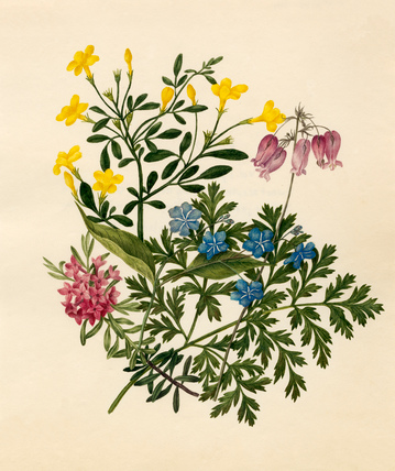 Daphne cneorum : Jasminum nudiflorum : Omphalodes verna : Dicentra eximia