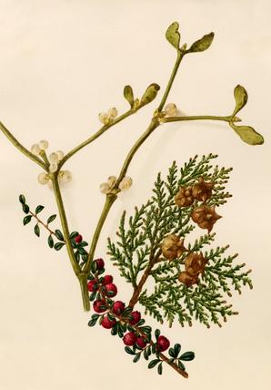 Cotoneaster microphyllus, Platycladus orientalis, Viscum album