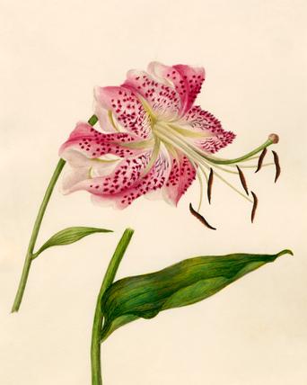 Lilium speciosum
