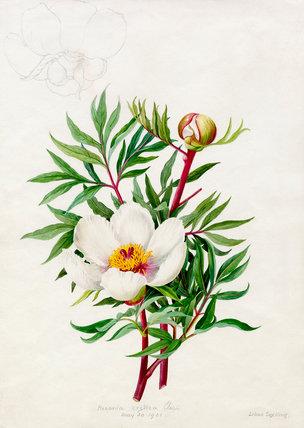 Paeonia cretica clusii
