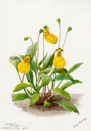 Calceolaria 'John Innes'