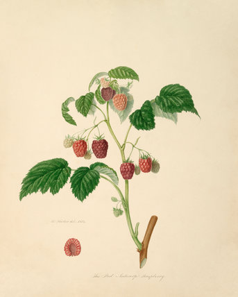 The Red Antwerp Raspberry