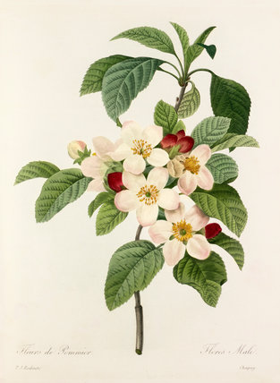 'Fleurs de Pommier'