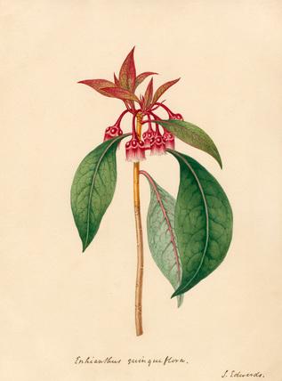 Enkianthus quinqueflorus