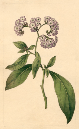 Heliotropium corymbosum