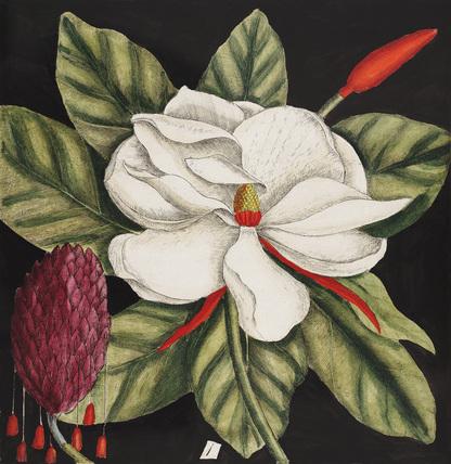 Magnolia altissima, flore ingenti candido