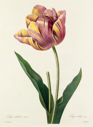 Tulipa culta (var.)