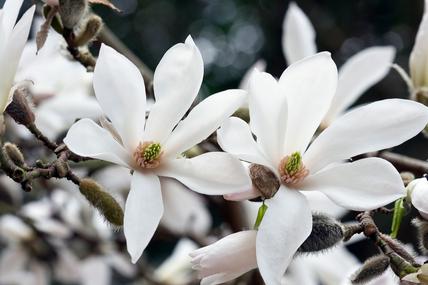 Magnolia × proctoriana