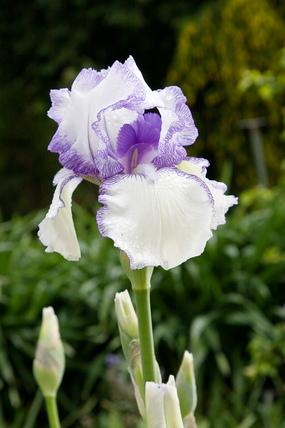 Iris 'Violet Icing'