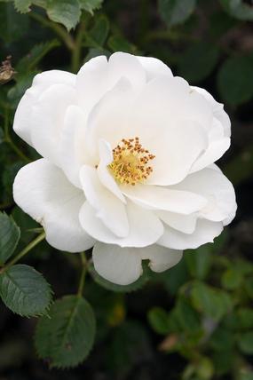 Rosa [Sheer Silk] = 'Harpatter'