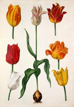 Tulipa cultivars