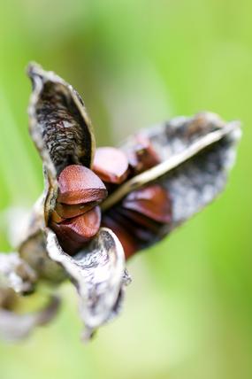 Iris sanguinea