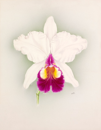 Cattleya × hardyana alba Pitts variety