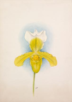 Cypripedium × San de Derai superbum