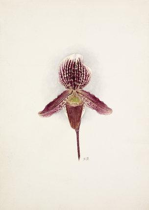 Cypripedium × Baron Schroeder