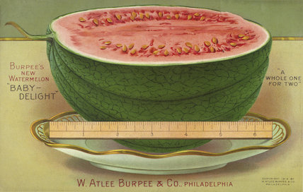 Burpee's new watermelon 'Baby Delight'