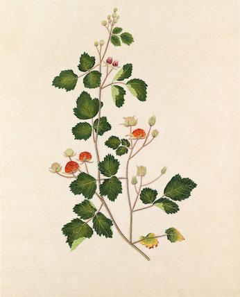 'Wild Rasberry' [Rubus idaeus]