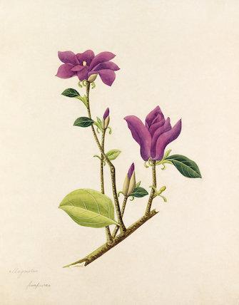 'Magnolia purpurea' [Magnolia liliiflora]