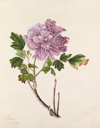 'Paeonia moutan' [Paeonia suffruticosa, mauve double]
